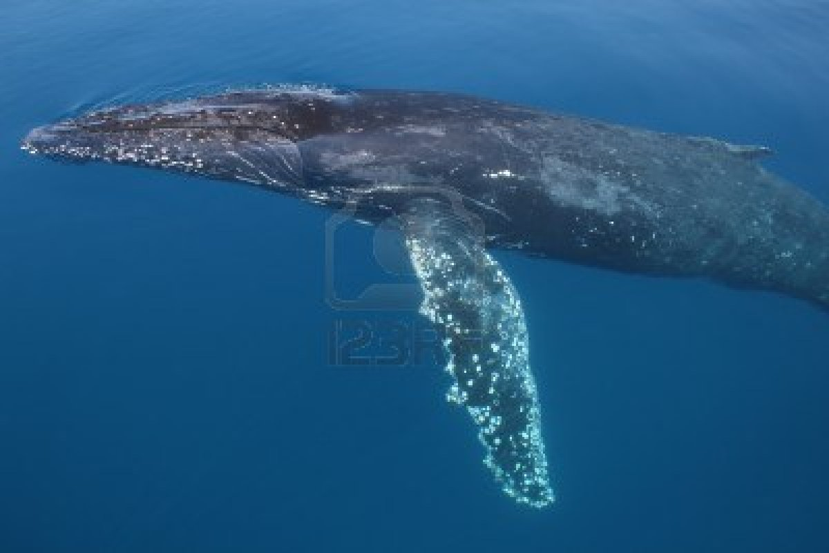 8399368-humpback-whale-migrating-australia