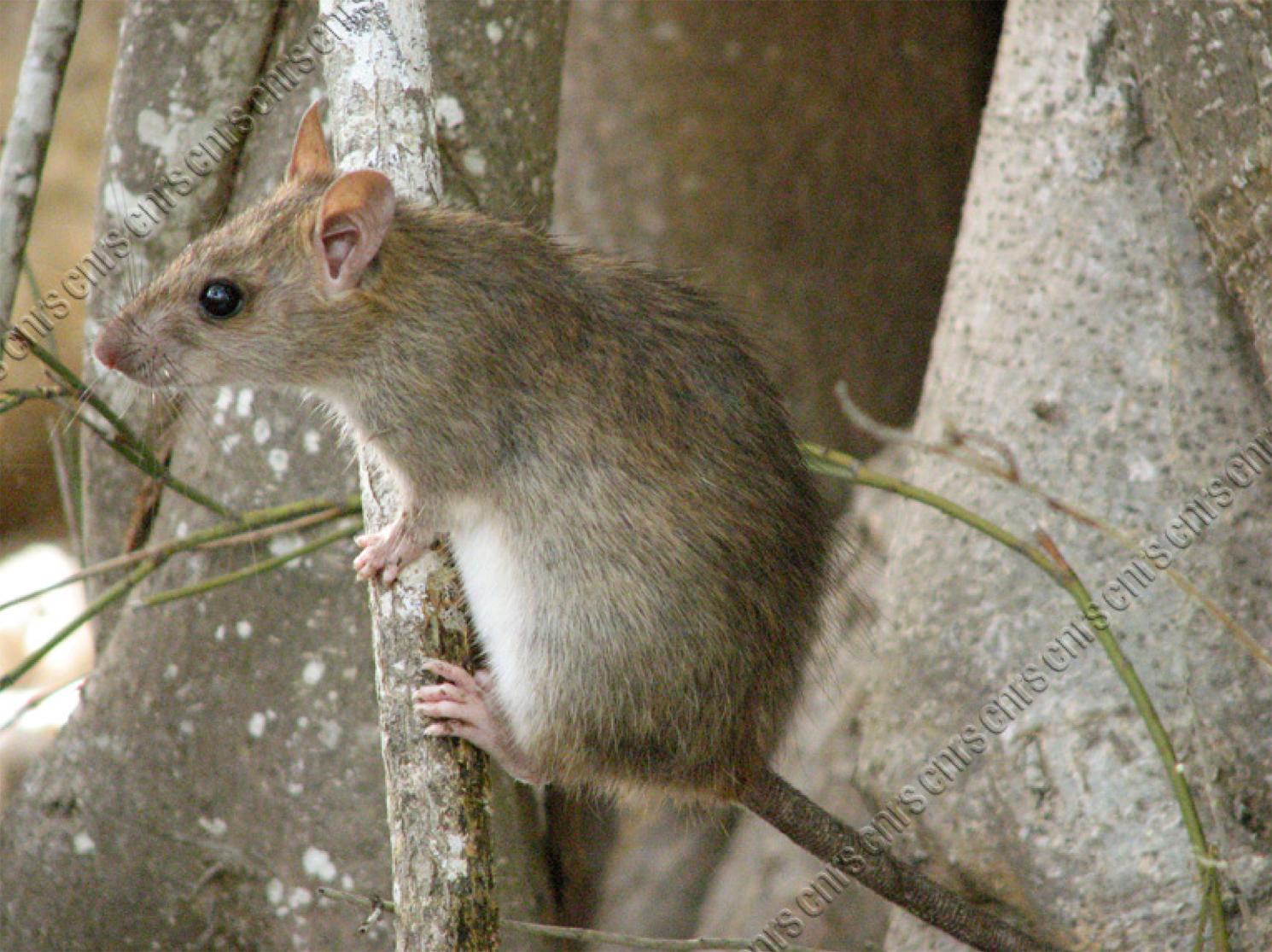 Rat noir (rattus rattus)