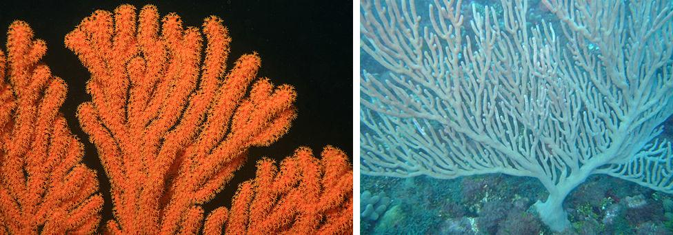 coraux