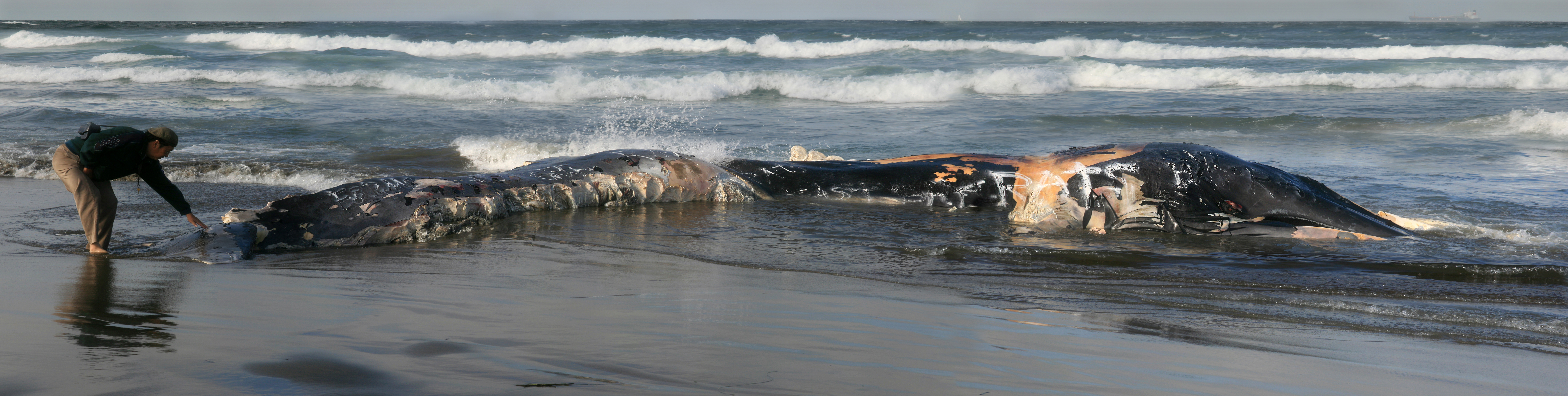 A_beachcomber_is_touching_a_dead_whale_washed_ashore_at_Ocean_beach_edit_1