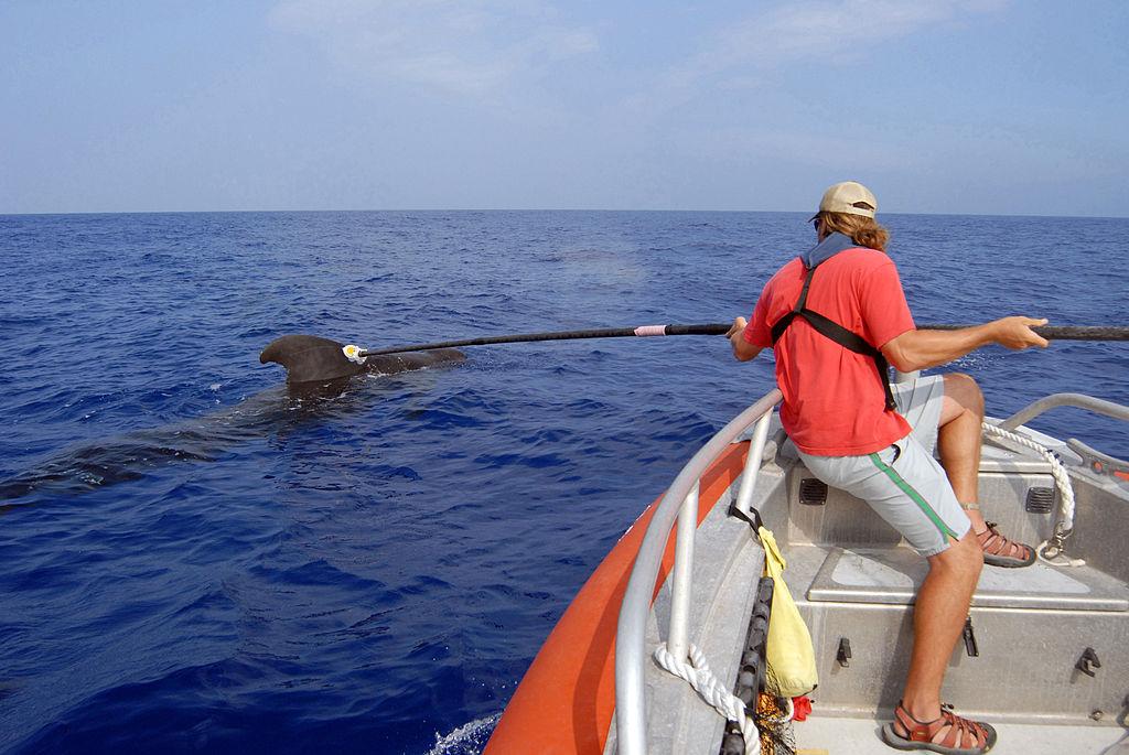 Mise en place d'une balise acoustique D-Tag sur l'aileron d'une baleine pilote.