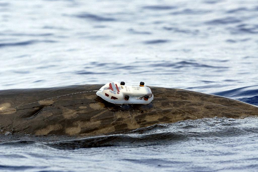 Balise acoustique D-Tag sur le dos d'une baleine