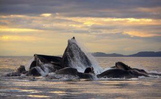 Un bouquet de baleines à bosse (Megaptera novaeangliae).