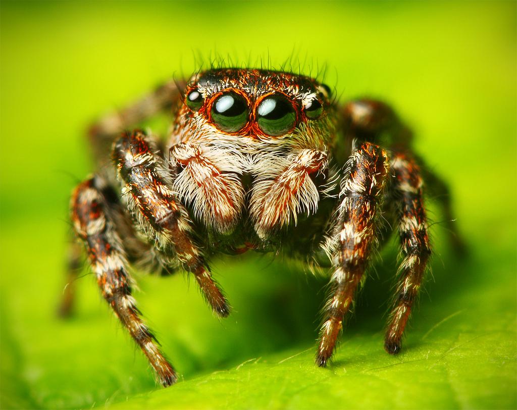 Une araignée Sittiflor floricola
